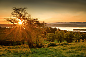 Tree in backlight at sunrise on Lake Starnberg, Ilkahöhe, Bavaria, Germany