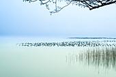 Eiderentenrast am Starnberger See im Winter, Bayern, Deutschland