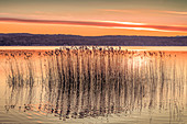 Reeds on Lake Starnberg at sunrise, Bavaria, Germany