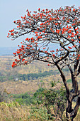 Malawi; Northern Region; Nyika National Park; typical bush landscape; Coral tree with intense red flowers