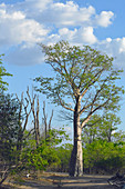 Malawi; Southern Region; Liwonde National Park; African baobab tree; baobab