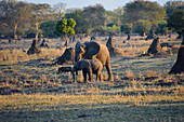 Malawi; Southern Region; Liwonde National Park; The mother elephant and her young graze in the evening sun; accompanied by a warthog