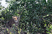 Malawi; Southern Region; Liwonde National Park; young cheetah curiously observes the park visitors; well protected by a sweeping bush