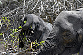 Malawi; Southern Region; Liwonde National Park; a young elephant eats fresh, light green leaves; The mother elephant stands by and watches