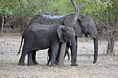 Malawi; Southern Region; Liwonde National Park; a mother elephant and her offspring stop at a tree