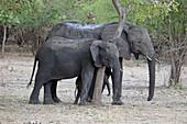 Malawi; Southern Region; Liwonde National Park; eine Elefantenmutter macht mit ihrem Nachwuchs an einem Baum Halt
