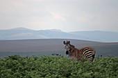 Malawi; Northern Region; Nyika National Park; Zebra on the Nyika plateau; almost treeless grassland and extensive fern meadows