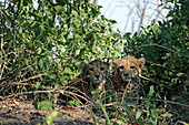 Malawi; Southern Region; Liwonde National Park; two young cheetahs curiously watch the park visitors; well protected by a sweeping bush