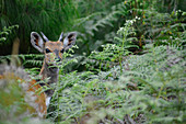 Malawi; Northern Region; Nyika National Park; Bushbuck on the Nyika Plateau; in the foreground ferns