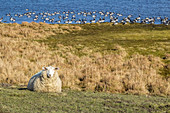 Sheep and wild geese in the Ellenbogen nature reserve, Sylt, Schleswig-Holstein, Germany