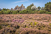 Thatched roof villa in the blooming Braderuper Heide, Sylt, Schleswig-Holstein, Germany
