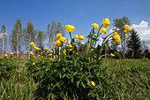 Globeflowers, Trollius europaeus, Loisach-Kochelsee Moos, Upper Bavaria, Germany