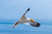 Northern gannet in flight on Heligoland, North Sea, Schleswig-Holstein, Germany