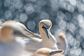 Portrait of northern gannet with bokeh on Helgoland, North Sea, Schleswig-Holstein, Germany