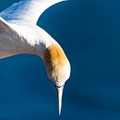 Close up eines Basstölpel im Flug, Helgoland, Nordsee, Schleswig-Holstein, Deutschland
