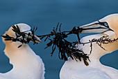 2 northern gannets with algae in their beak, Heligoland, North Sea, Schleswig-Holstein, Germany
