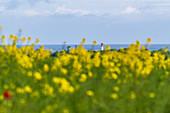Rape field in front of the lighthouse in Heiligenhafen, Ostholstein, Schleswig-Holstein, Germany