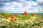 Poppies and mother flowers on the coast, Baltic Sea, Ostholstein, Schleswig-Holstein, Germany
