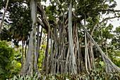 Big tree in the botanical garden of Puerto de la Cruz, Tenerife, Spain