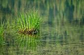 Reeds reflected in the lake, Weitsee, Chiemgau Alps, Chiemgau, Upper Bavaria, Bavaria, Germany