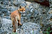 Young fox climbs over rocks, Vulpes vulpes, Upper Bavaria, Bavaria, Germany