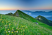 Meadow of flowers in front of a mountain backdrop at dawn, Vette Grandi, Belluno Dolomites, Belluno Dolomites National Park, UNESCO World Heritage Dolomites, Veneto, Veneto, Italy
