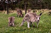 Kangaroos in Otway National Park on the Great Ocean Road in Victoria, Australia