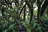 Mystical rainforest in Egmont National Park in Taranaki, New Zealand.