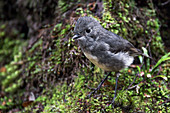 The New Zealand Robin, for example, lives at Lewis Pass on the West Coast in New Zealand.