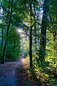 Forest near oak, Potsdam, State of Brandenburg, Germany
