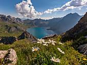 Mountain flowers high above the Lünersee, Brandnertal, Vorarlberg, Austria