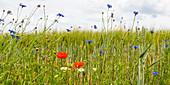 Wildflower meadow near Magdeburg, Saxony-Anhalt, Germany