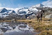 Horses on the shore of Lago Bianco, Bernina Pass, canton of Graubunden, Engadin, Switzerland