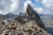 Herd of Alpine ibex on the slopes at feet of Pizzo degli Uomini, Orobie Alps, Lombardy, Italy