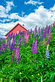 Beautiful, colorful and plentiful lupines blooming on the side of the street in the Norwegian city of Sandefjord