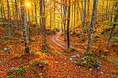 Sun and sunrays filtering through the trees, forest at sunset, dead leaves turning orange, service road in the middle. Magical fall foliage in Belluno, Veneto region of Italy.