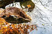European Otter (Lutra lutra) on a pond in autumn. Tyrol, Austria(Osterreich)