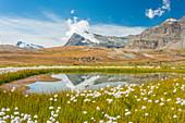 Ein Feld von Baumwollgras vor dem Berg Punta Basei, das sich im Wasser reflektiert, Ceresole Reale, Graian Alpen, Nationalpark Gran Paradiso, Region Piemont, Italien