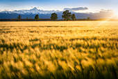 Sunset in Padana Plain, with sunrays the illuminate a wheat field, with the Alps chain and Monviso on the background, Racconigi, Piedmont, Italy