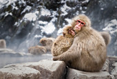 Japanese Macaques, looking at the camera, chilling at the onsen,Jigokudani Park, Nagano, Japan