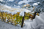 First snow on the yellow vineyards in Langhe, Borgomale, Piedmont, Italy