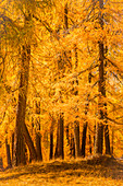 A wood of yellow larches trees during autumn. Livigno, Lombardy, Italy
