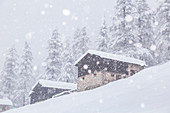 Alpine huts under a winter snowfall with a larix wood in background. Livigno, Sondrio district, Lombardy, Alps, Italy, Europe.
