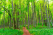 Hiker between the green trees in the the forest. Papuk geopark, Slavonia, Croatia.