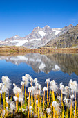 Eriophorum blooming in al alpine lake during summer in italian Alps. Confinale pass lake, Valmalenco valley, Sondrio district, Valtellina, Alps, Lombardy, Italy, Europe.
