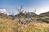 Tote Bäume mit den Hörnern von Paine im Hintergrund im Herbst, Nationalpark Torres del Paine, Provinz Ultima Esperanza, Chile