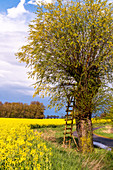 Rape field and tree with hunter's stand on a path in Siggeneben, East Holstein, Schleswig-Holstein, Germany