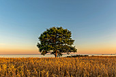 Tree in wheat field with a view of the Baltic Sea, Kellenhusen, Ostholstein, Schleswig-Holstein, Germany