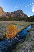 A lone autumn tree near brook near Alpe Devero , Alpe Veglia and Alpe Devero Natural Park, Baceno, Verbano Cusio Ossola, Piedimont, Italy, Europe
