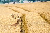 Fallow deer in the wheat field, Ostholstein, Georgshof, Schleswig-Holstein, Germany